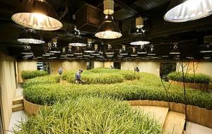 tanaman-padi-di-bawah-tanah-300x190